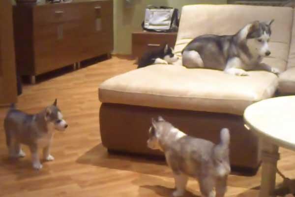 husky-anne-ve-yavrulari