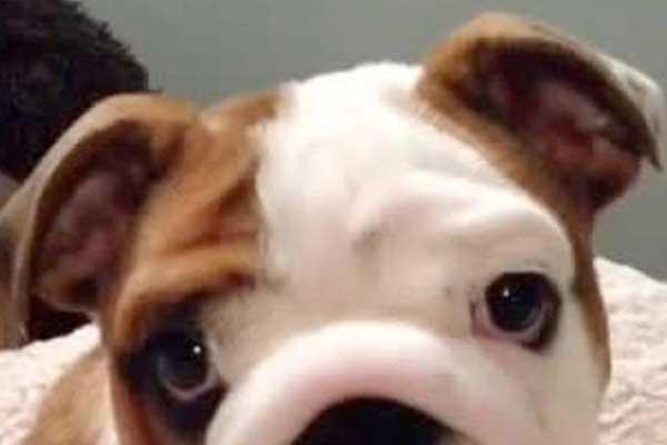 ingiliz-bulldog-yatagini-cok-seviyor