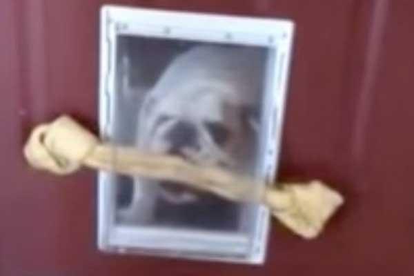 bulldog-kemik