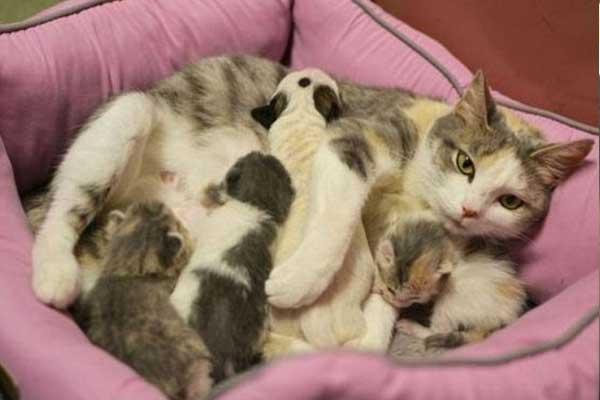 kedi-pitbull-yavrusunu-emziriyor