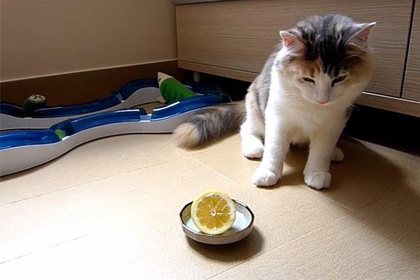 kedi-ve-limon