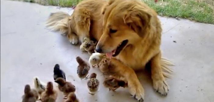civcivleri-evlat-edinen-kopek