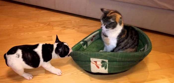bulldog-kediye-karsi