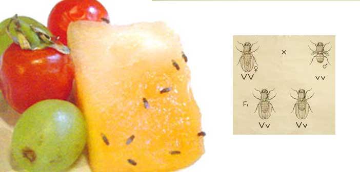 meyve-sinekleri