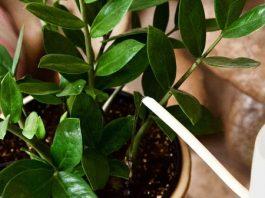 Sulama Hatası Bitkileri Öldürebilir